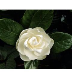Gardénia Flor