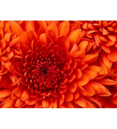 Crisantemo L 338
