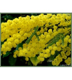 Mimosa D 1420